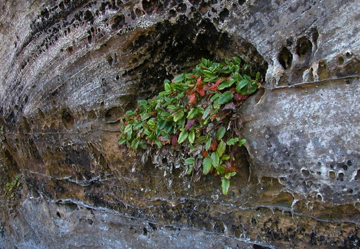 Plant, sandstone wall.