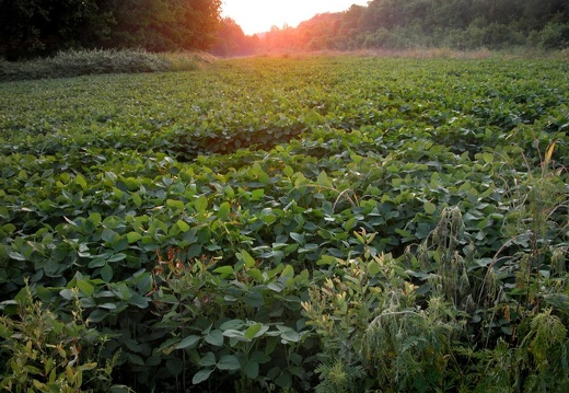 Soybean field at sunset