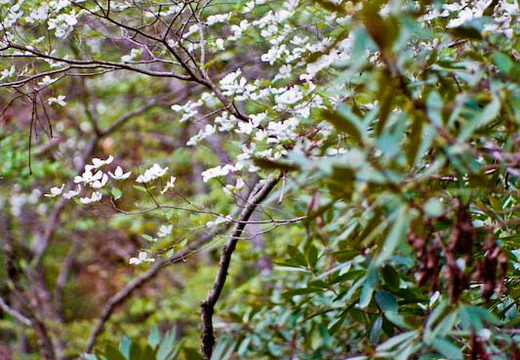 Dogwoods, Rhododendron