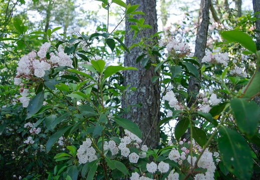Mountain laurel, whitish