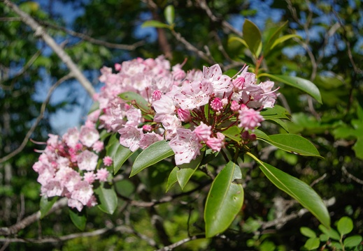Mountain laurel, pinkish